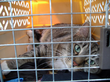 cat in car, carrier