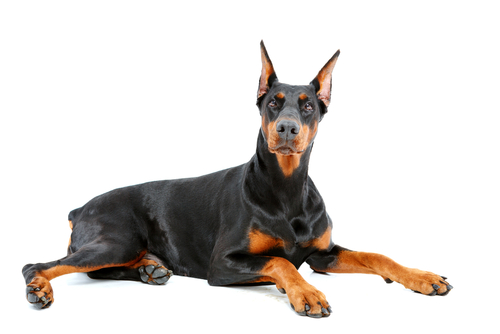 Homeowners Insurance Dog Breed Restrictions