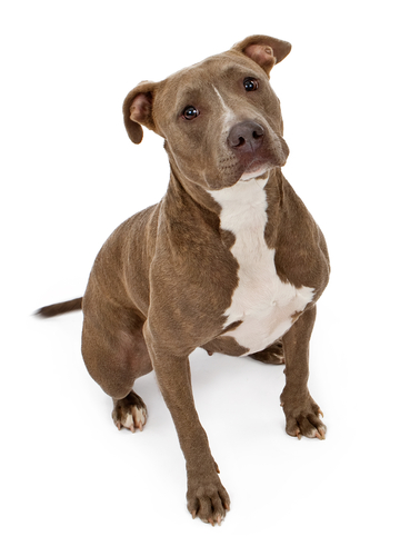 Nationwide Homeowners Insurance >> The Prohibited Lists: Home Insurance Dog Breed Restrictions