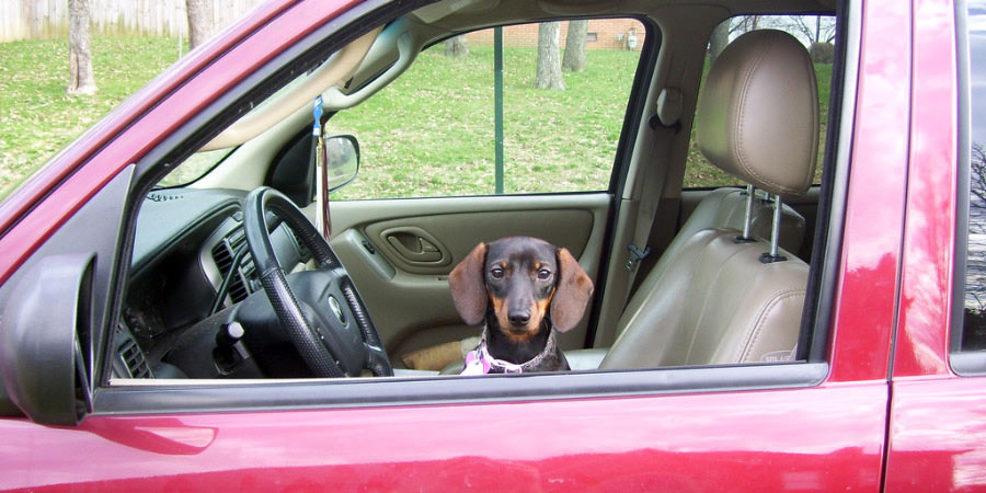 dog in drivers seat